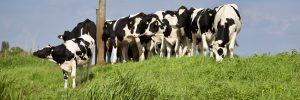 Bijna 200 melkveehouders bereiden proces voor tegen Royal Bel Leerdammer