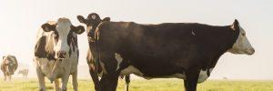 Herbeoordeling fosfaatrechten: vleesveehouders in de knel?